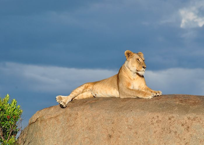 Lioness in the Serengeti, Tanzania