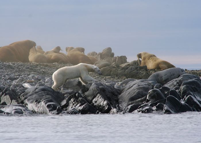 A Polar Bear edges its way round a Walrus colony, Svalbard