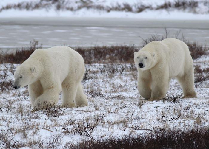 Polar bears wander out on the tundra near Churchill, Canada
