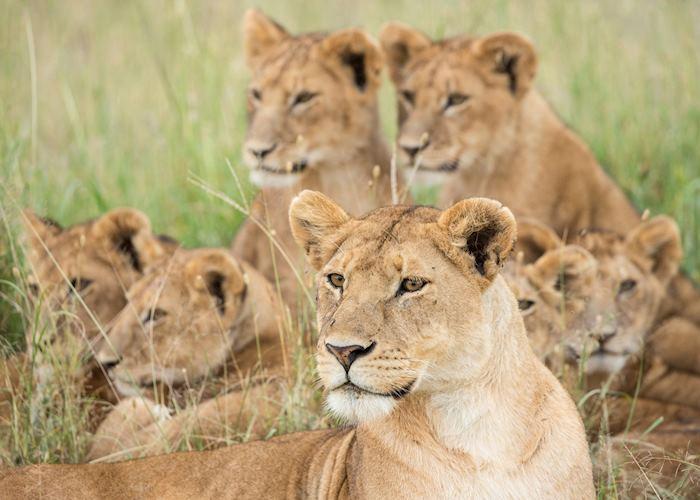 Pride of lions, Serengeti National Park