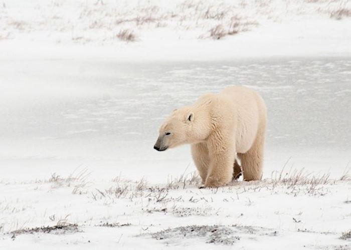Polar Bear in Churchill,Canada