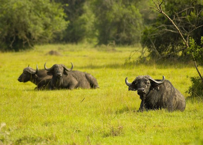 Buffalo in Lake Mburo National Park