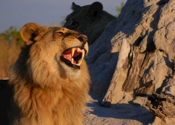 Lion in the morning light, Nxabega Concession