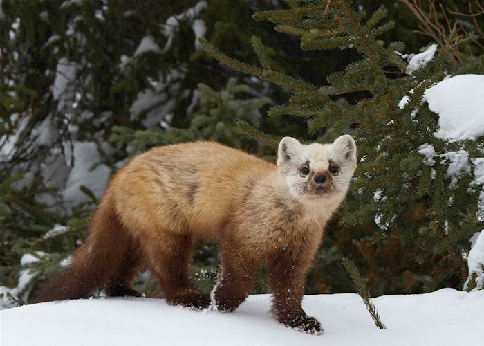 A pine marten at Arctic Haven Wilderness Lodge