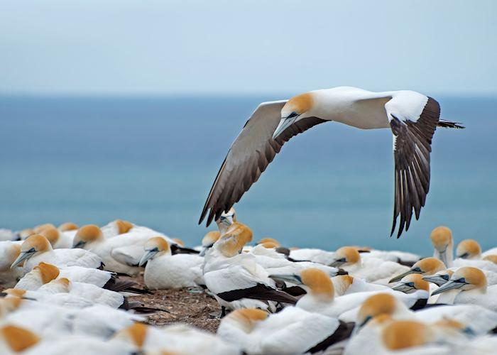 Hawke's Bay gannets
