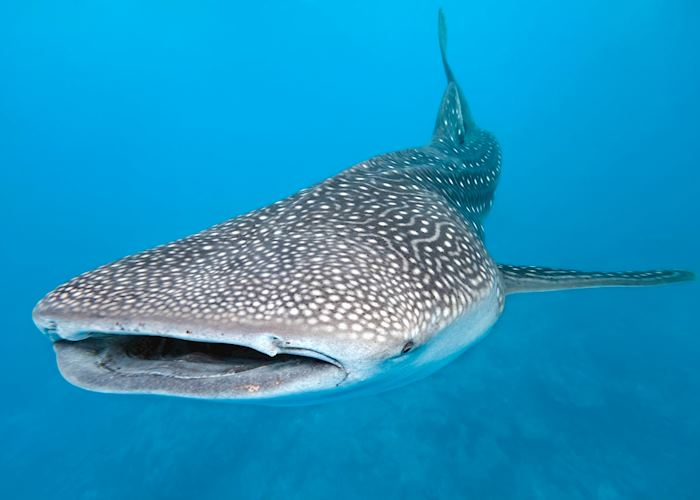 A whale shark on the Ningaloo Reef, near Exmouth