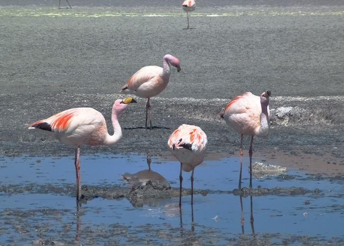 Flamingos in a lagoon, Bolivian Altiplano