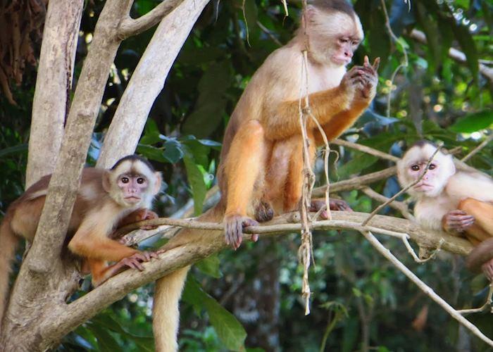 Capuchin monkeys in the Amazon, Brazil