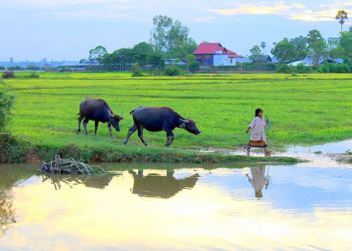 Young Cambodian Girl leading water buffalo, Cambodian countryside, Siem Reap, Cambodia