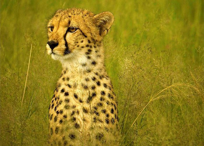 Cheetah in the tall grass, Hwange National Park, Zimbabwe