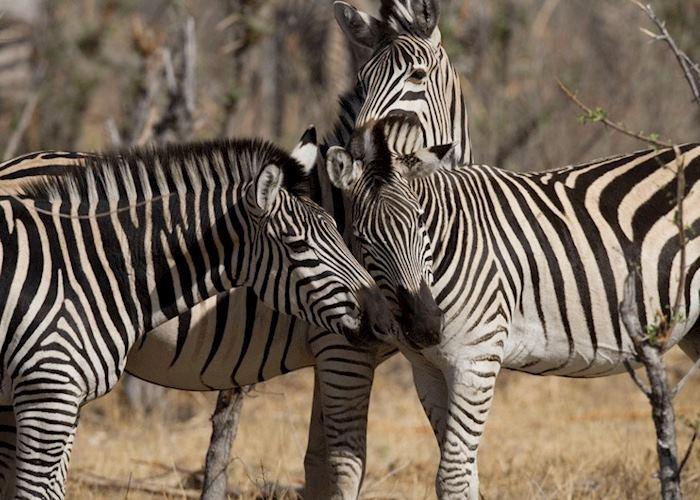 Zebras in Hwange National Park, Zimbabwe