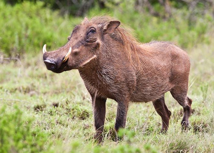 Warthog, Mana Pools, Zimbabwe