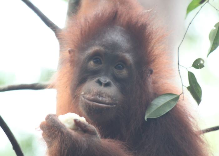 Orangutan, Tanjung Puting National Park