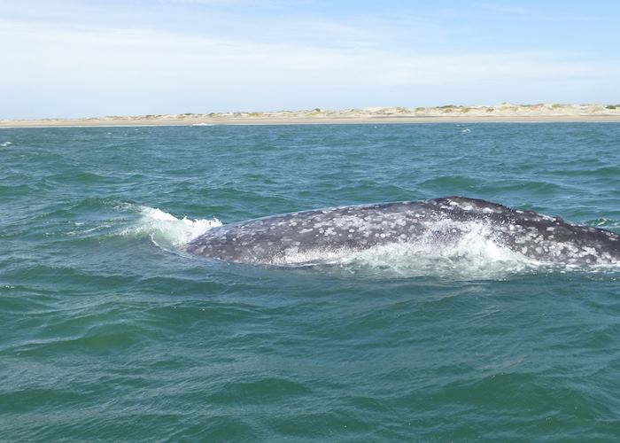 Grey Whale, Magdalena Bay