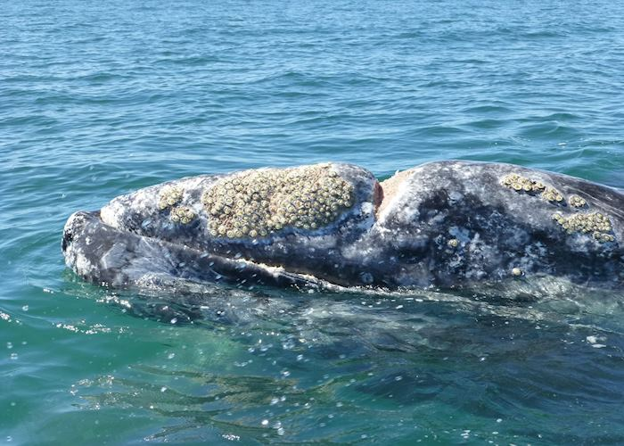 Grey Whale, San Ignacio Lagoon