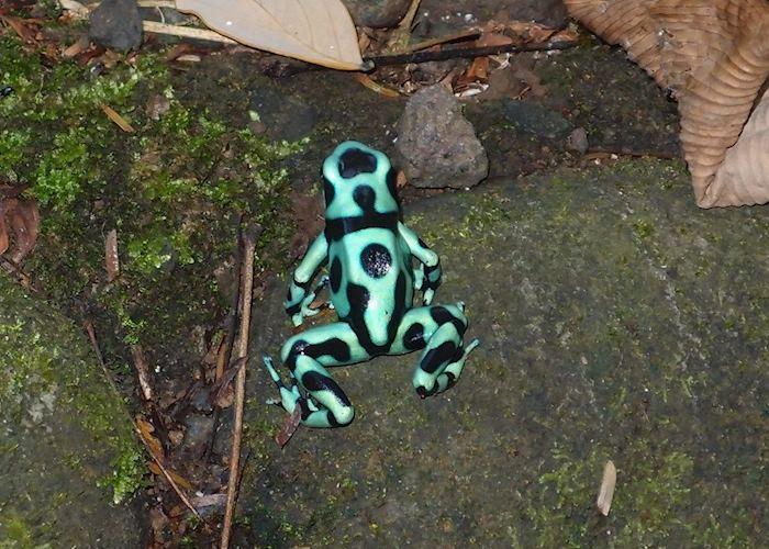 Black and Green Dart Frog, Sarapiqui, Costa Rica