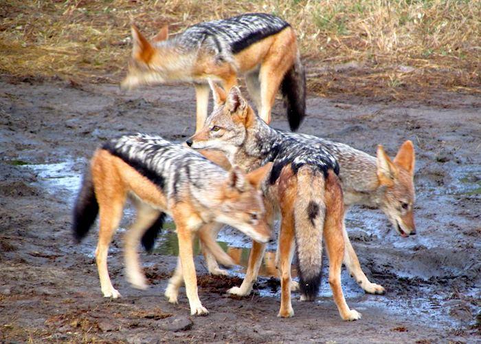 Family of Jackal, Chobe National Park