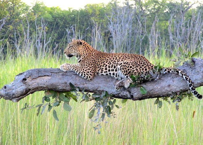 Leopard, Moremi Wildlife Reserve, Botswana
