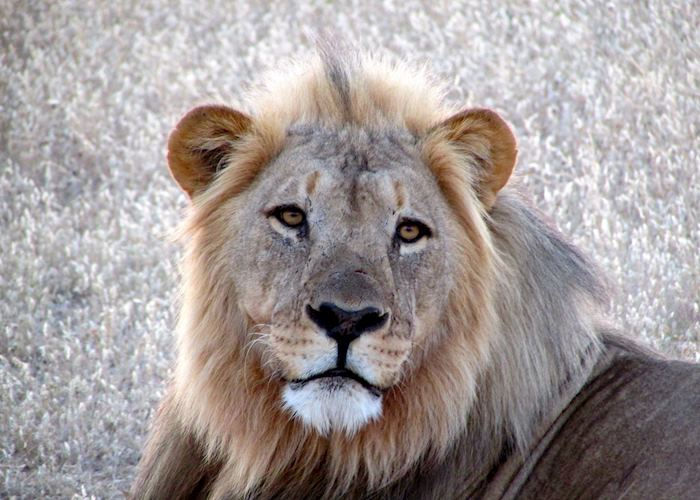 Male lion, Ongava Reserve, Namibia