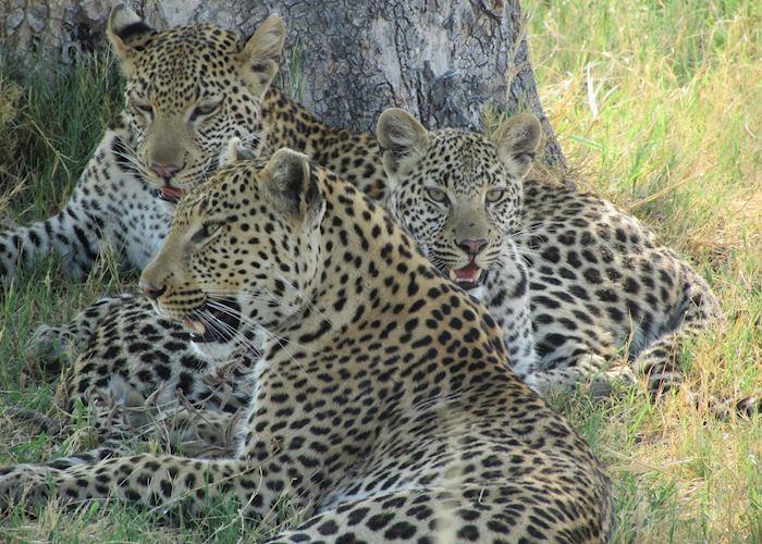Leopard family, Shinde Concession, Okavango Delta, Botswana