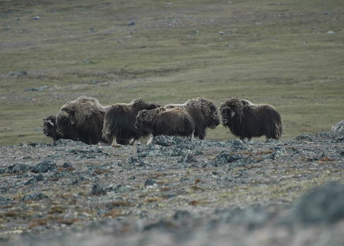 Musk Oxen on Diana Island