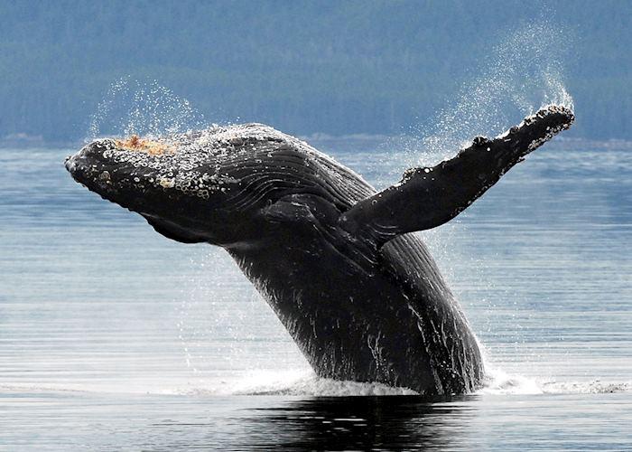 Humpback whale, Haida Gwaii