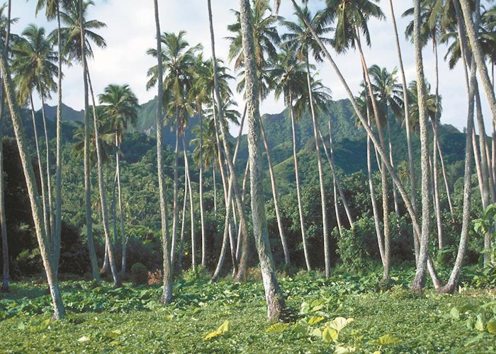 Coconut plantations, The Cook Islands