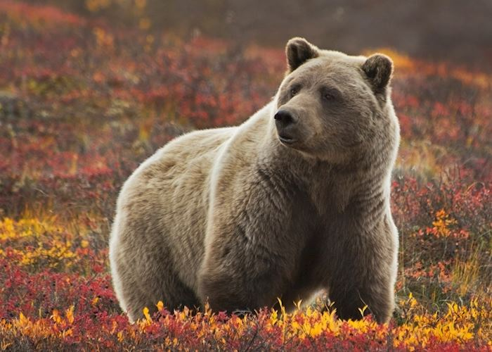 Grizzly Bear in the colorful fall tundra, Denali National Park and Preserve, Alaska