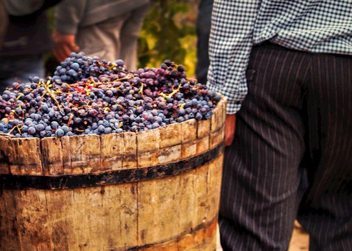 Harvested grapes, France