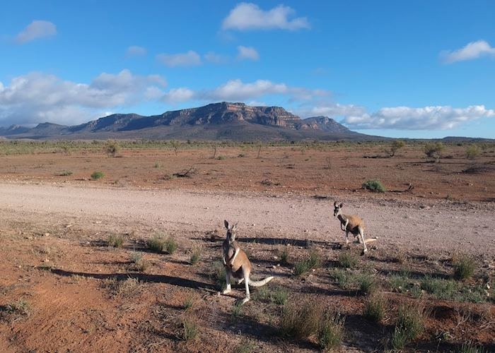 Red kangaroos in front of Wilpena Pound, Flinders Ranges