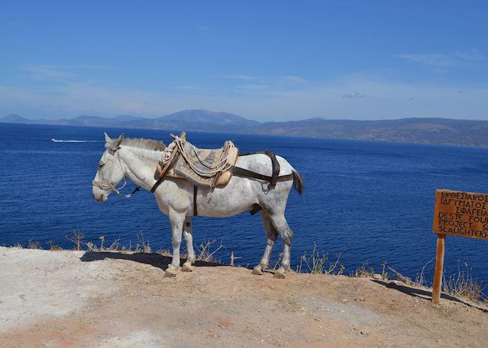Local mule, Hydra