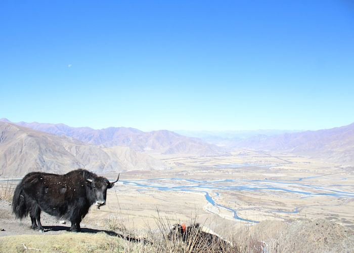 A yak overlooking the Kyichu Valley at Ganden Monastery