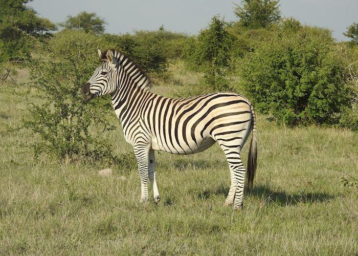 Zebra, Nxai Pan National Park