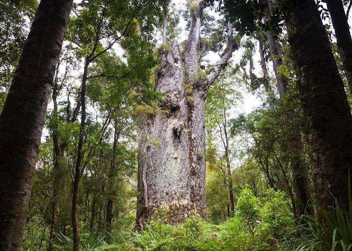 Kauri trees, Waipoua Forest