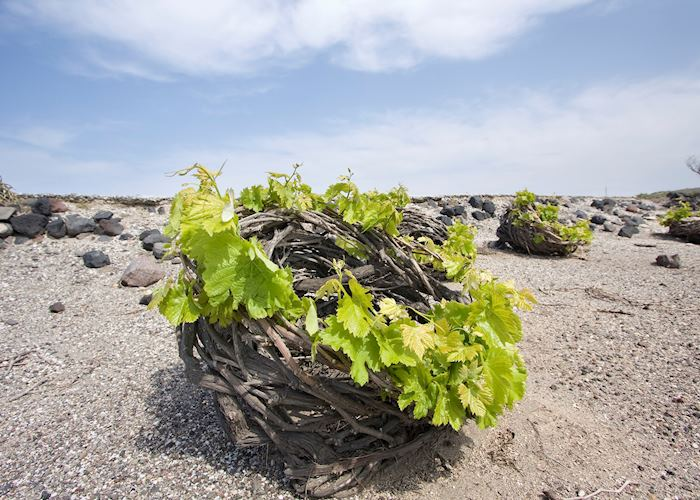 Traditional vine growing techniques, Santorini