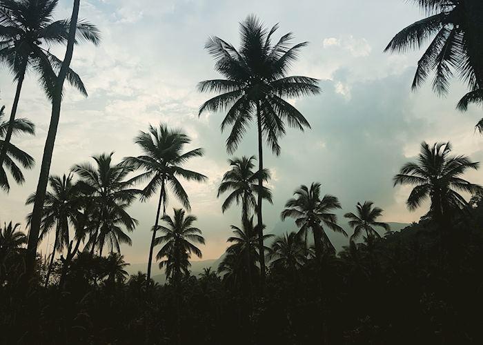 Palm trees, Pallepolla