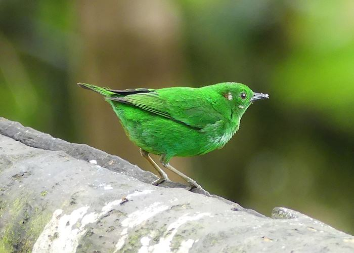Glistening Tanager at Mashpi Lodge