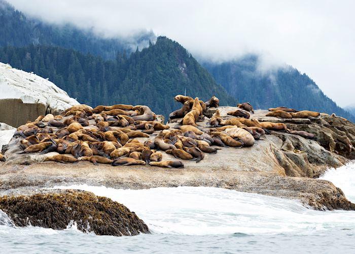 Lazy sea lions near Sitka, Alaska