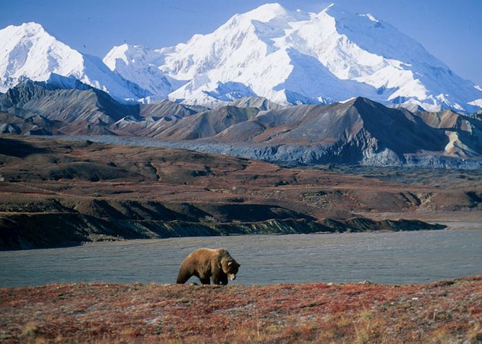 Bear roaming in Denali National Park, Alaska
