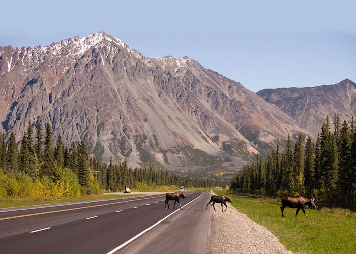 Moose roaming in Denali National Park