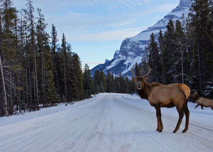 Elk bull on the Icefields Parkway, the Rocky Mountains