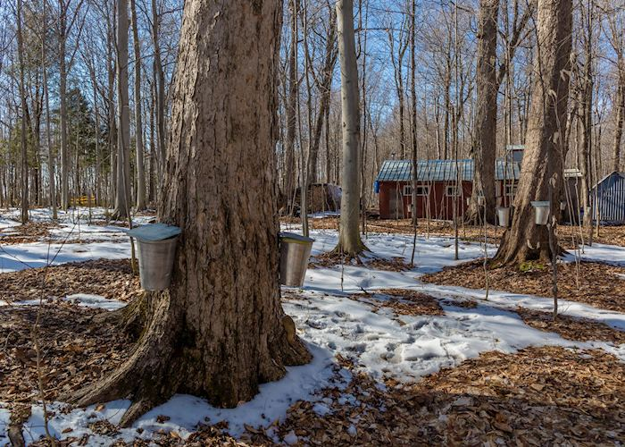 Maple trees being tapped for maple sap collection