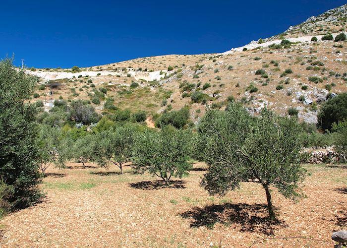 Olive groves in Hvar, Croatia