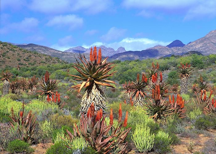 Aloes De Rust, Cape Peninsula