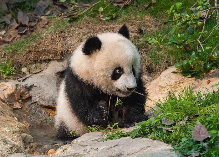 Panda cub at Chengdu Panda Research Base
