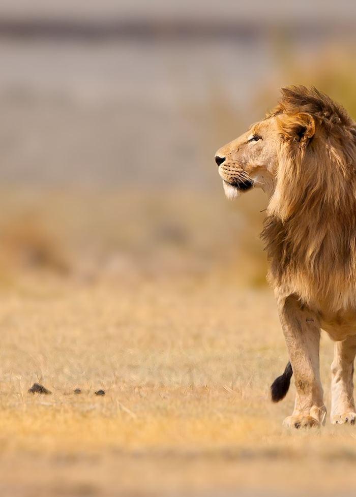 Male lion in the Ngorongoro Crater, Tanzania