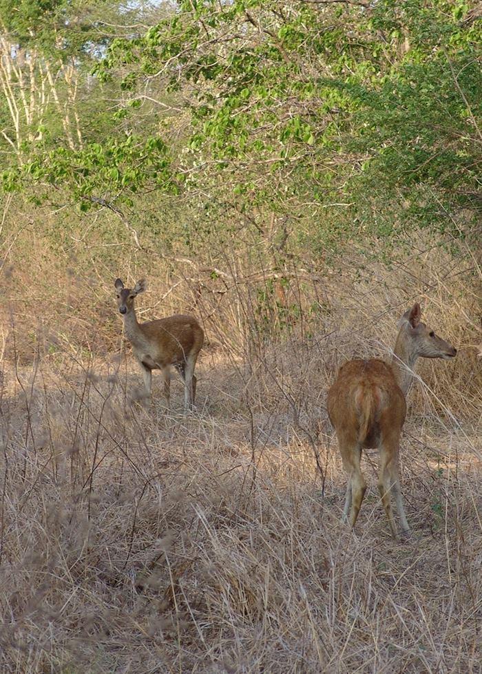 Deer in Bali Barat, Indonesia