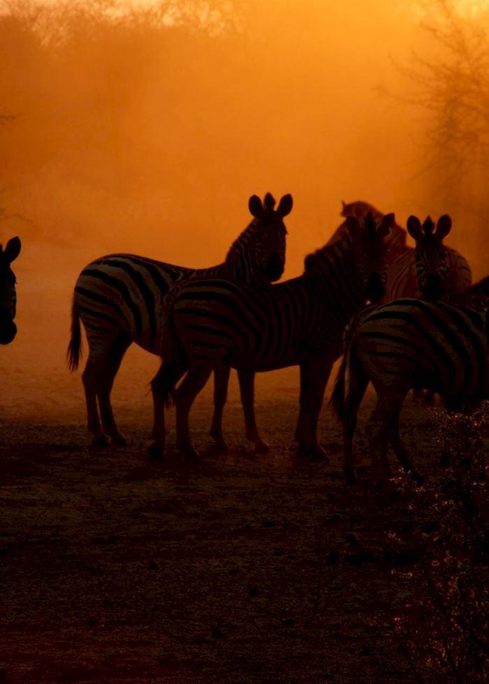 Zebra in the Central Kalahari