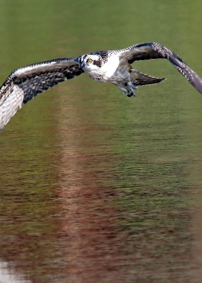 Osprey in the Cairngorms