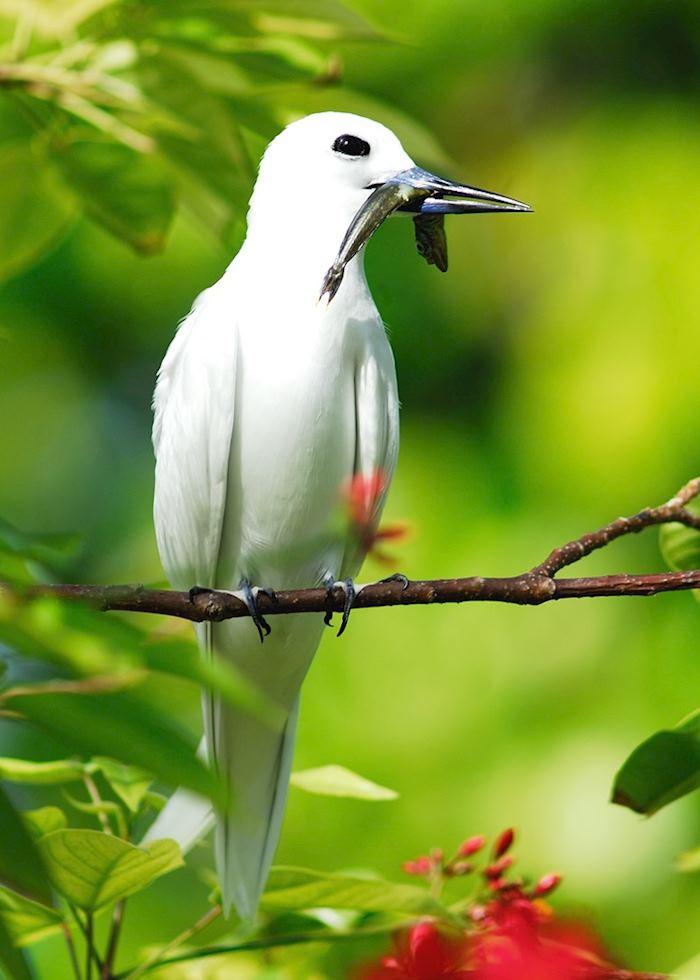 Tropic bird with fish